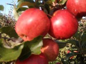 Apples, Royal Gala, 1kg