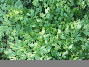 Parsley, Organic Flat, 50g