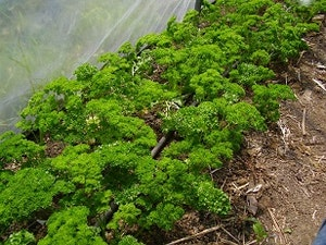 Parsley, Organic Flat 50g