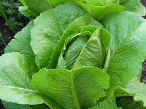 Lettuce, Organic Green, each