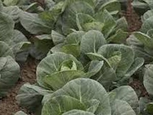 Cabbage, Organic Spring Greens, each