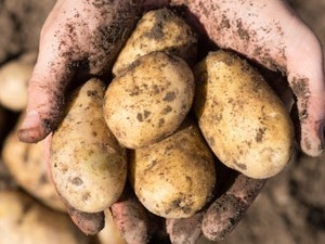 Potatoes New, Cornish, 500g