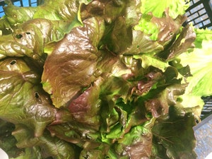 Lettuce, Organic Red Batavia, each