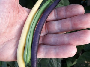 French Beans, Three Colours, 250g
