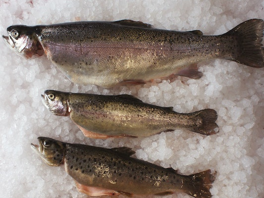 Fresh Rainbow Trout, large from 500g to 2kg - Somerset ...