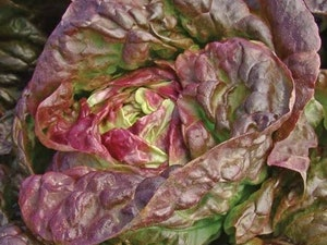 Lettuce, Organic Marvel of Four Seasons, each