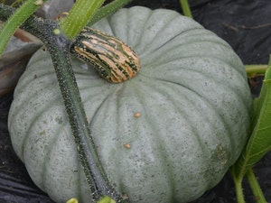 Winter Squash, Organic, each