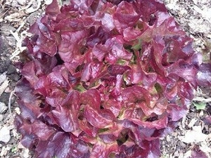 Lettuce, Organic, Red Oakleaf, each