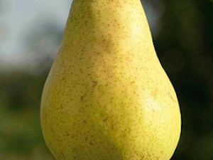 Pear, William, 1kg