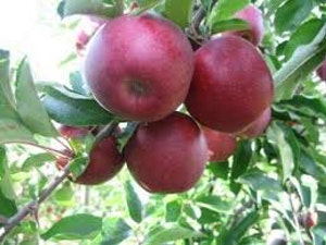 Apples, Red Prince, English, 1kg