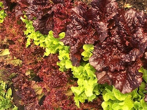 Salad Bag,  Mixed Leaves, Naturally Grown, 200g