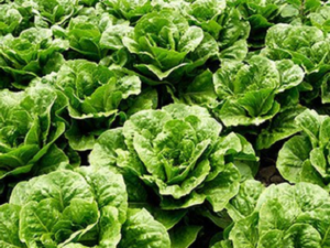 Lettuce, Red/Green, Local & Naturally Grown